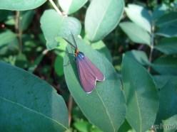 A Virginia Ctenucha Moth caught the eye of several photographers