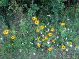 Wildflowers at the Hurd Grassland