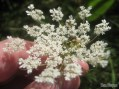 Jagged Ambush bugs on Queen Anne's Lace