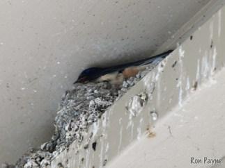 Nesting Barn Swallow