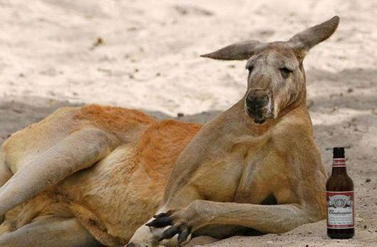 kanguru-ilginc-bilgi