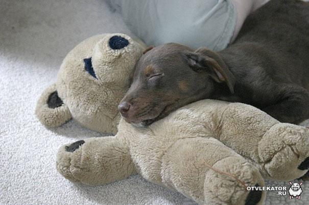 собака спит на плюшевом медведе