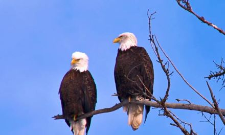 Taking Precautions to Protect Eagles, Other Birds