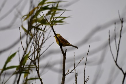 This little fella made so much noise that I have a suspicion he thought he was a canary...