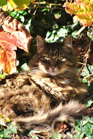 Feline ferocity lurking in the wilds of the tame home garden... bliss on four legs?