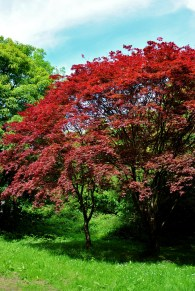 Japanese Maple... ablaze with colour, Marley Park, Dublin