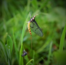 The fly?? Yep... the Mayfly...