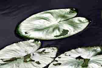 Three leaves... water lily pads on the dark canal water...