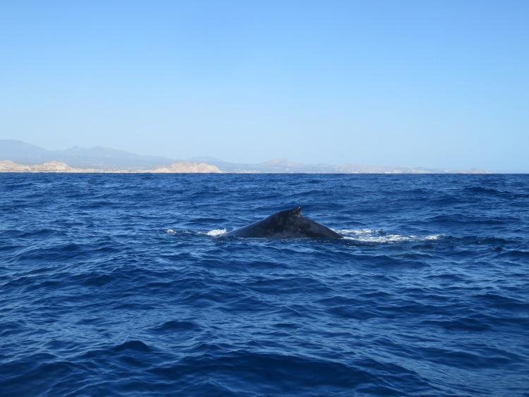 Baleine Cabo San Lucas MExique