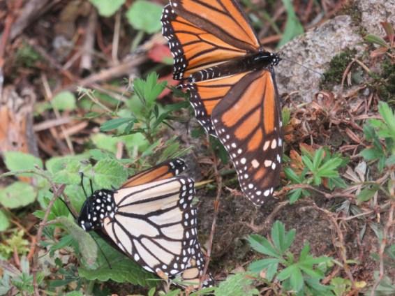Sanctuaire papillon monarque Mexique 3
