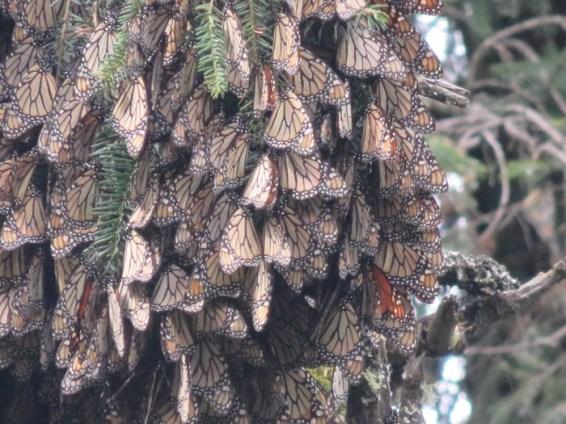 Sanctuaire papillon monarque Mexique2