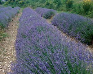 Farmed lavender in Provence, France.