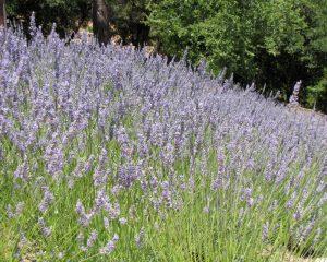 Part of our hillside lavender garden in Saratoga, California