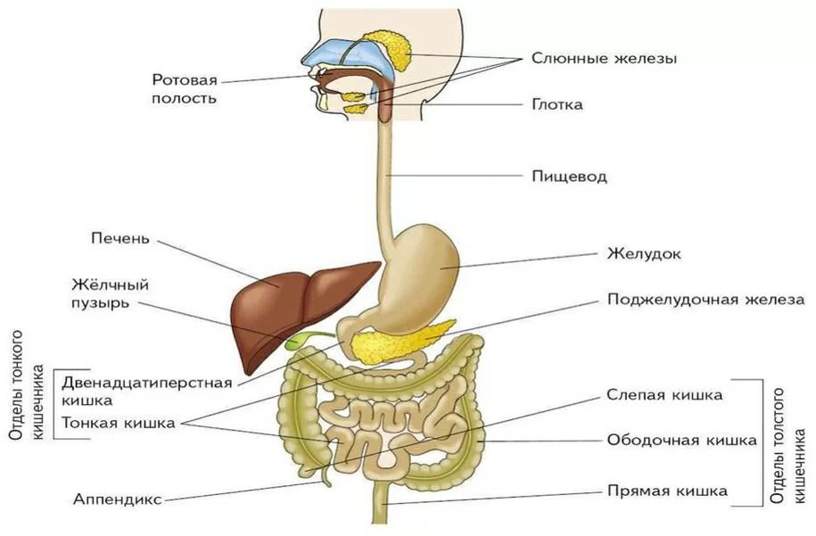 Виде картинки, органы человека картинки с надписями по русски