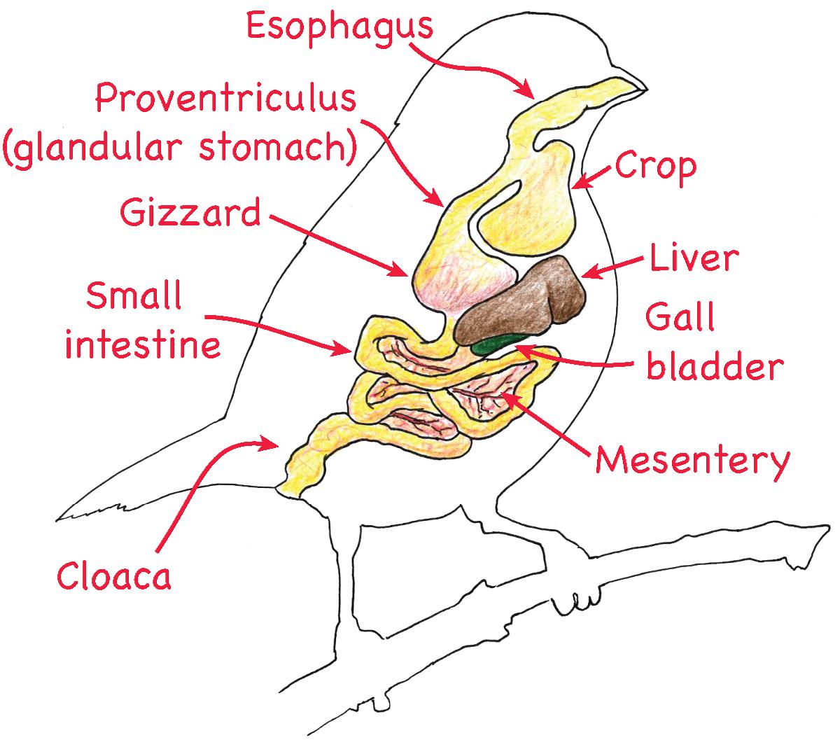 bird digestive system diagram 277 volt avian related keywords