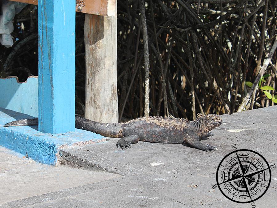 Leguane am Straßenrand