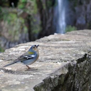 Ein Buchfink am Risco Wasserfall auf Madeira