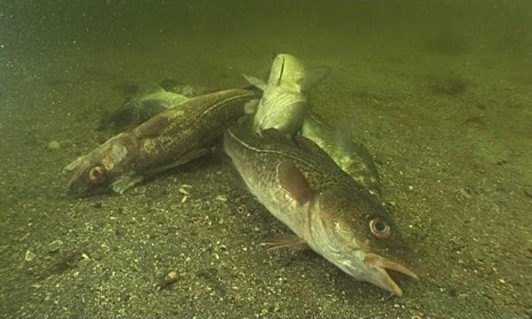 Nachhaltigkeit der Fischbestände gefährdet: Illegale Rückwürfe in der Ostsee schaden Fischerei und Bürgern