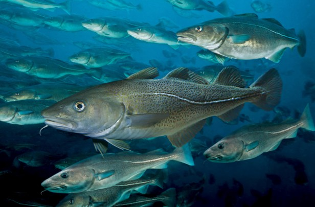 Calls for Emergency Halt to Baltic Fishing – Our Fish