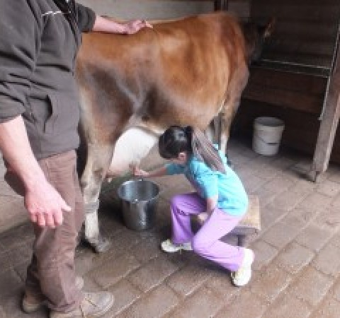 Alannah milking the cow
