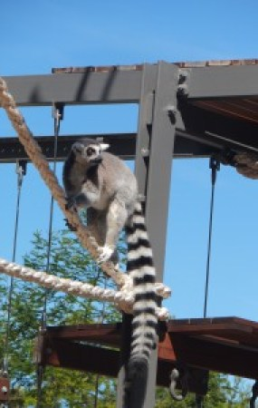 Close encounter with lemurs.