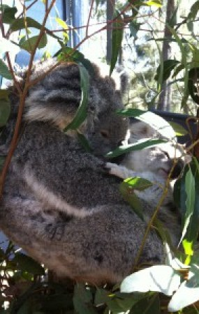 Closer pic of the koala behind them in the tree.