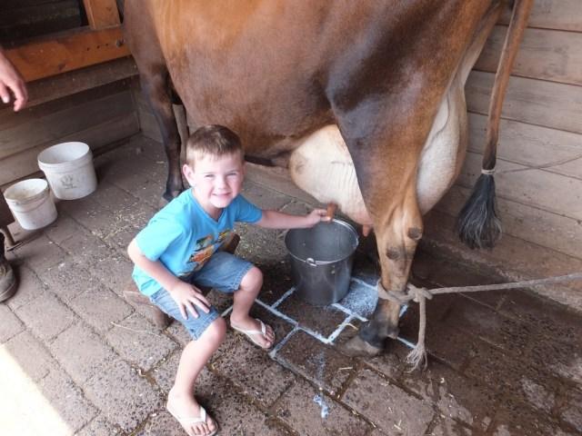 Milking Honey the cow