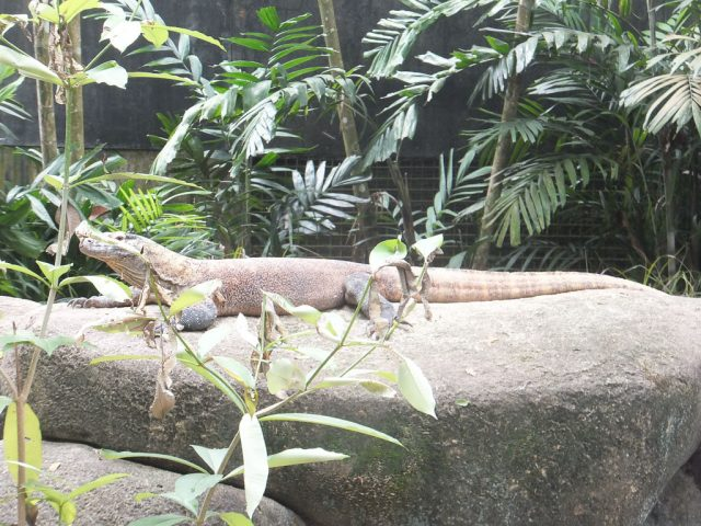Singapore Zoo lizards