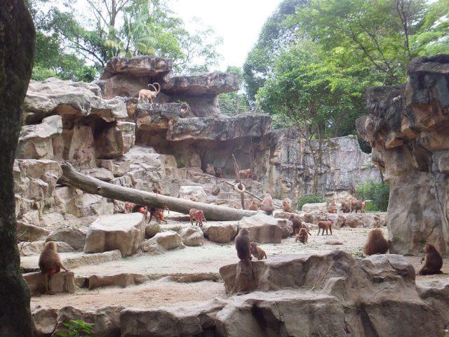 Singapore Zoo, hamadryas baboons