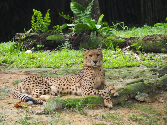 Singapore Zoo leopards