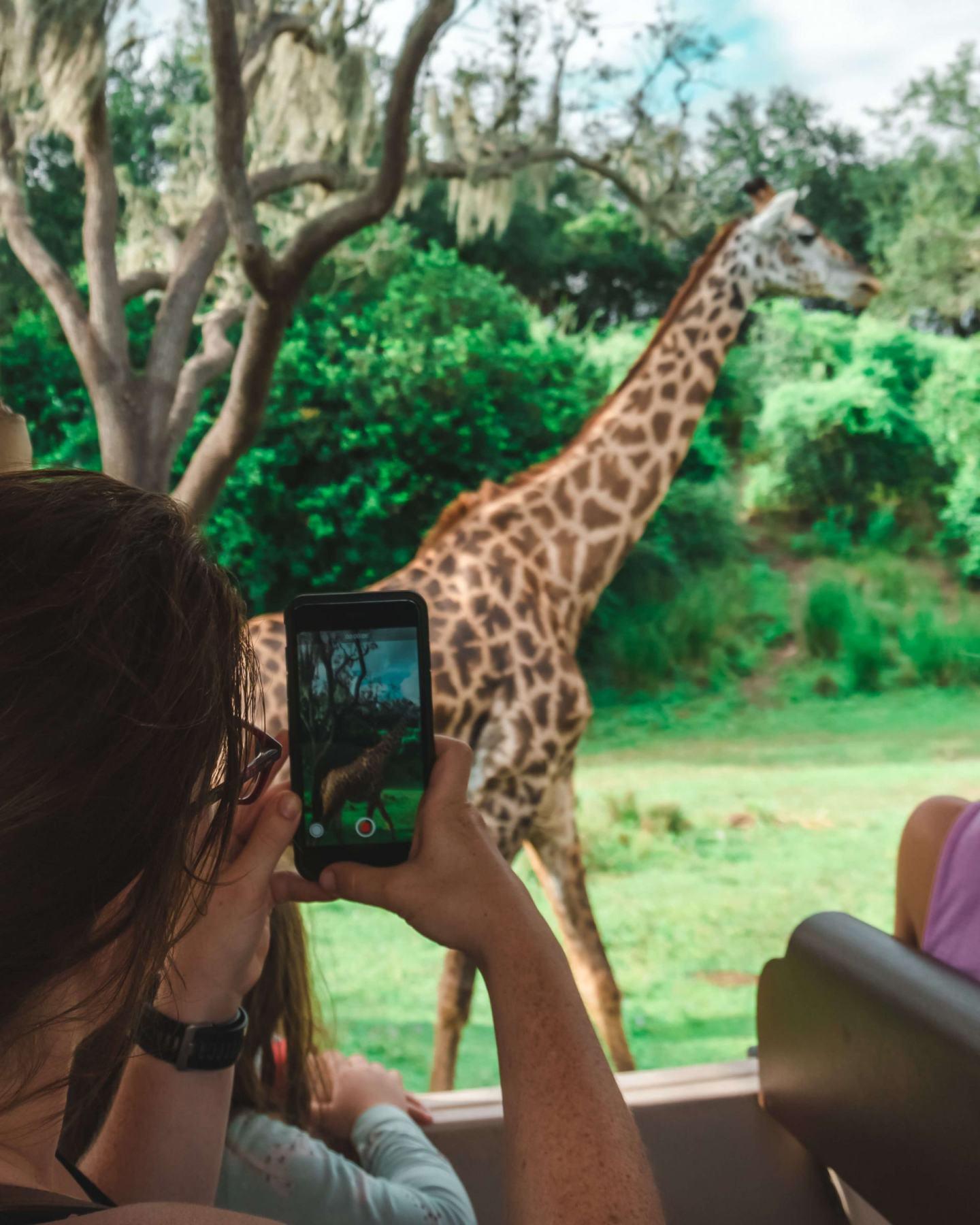 animal kingdom safari giraffe