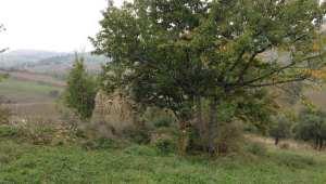 Overgrown cherry tree