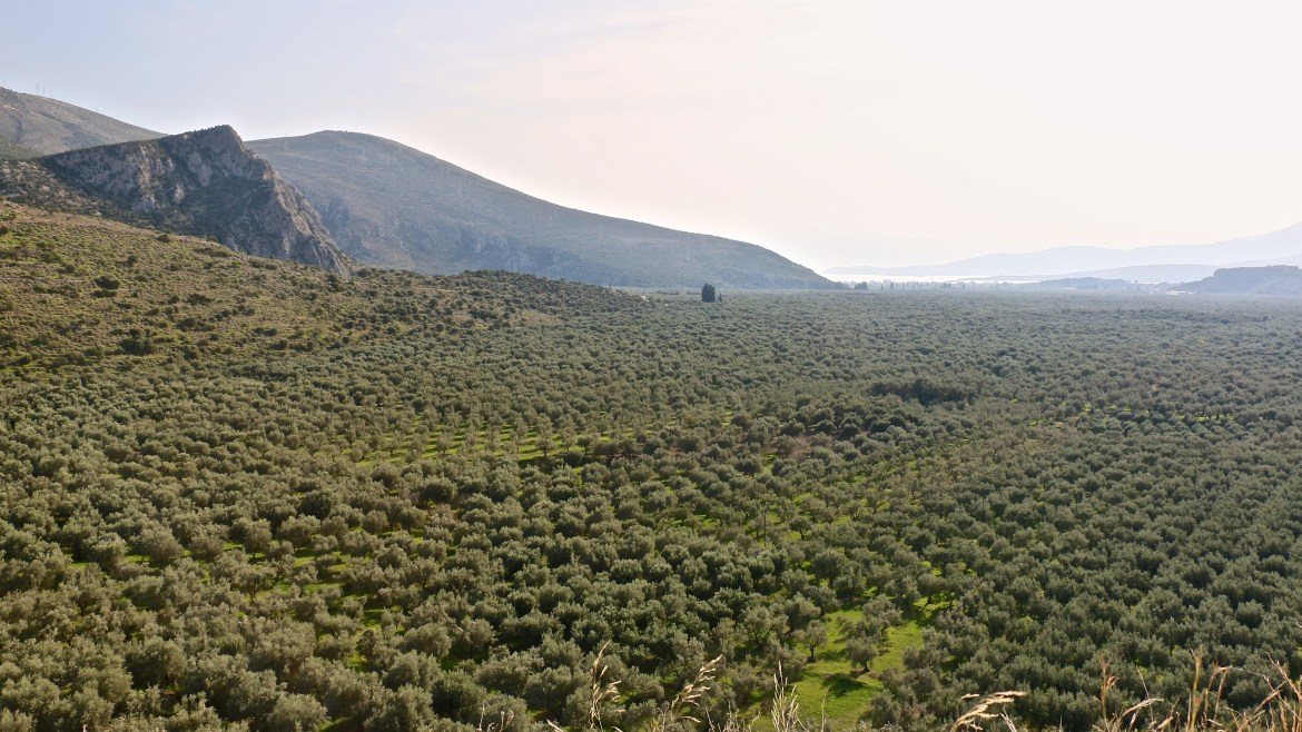 Greeces largest olive plantation...and we got lost inside it