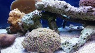 Brain coral in aquarium