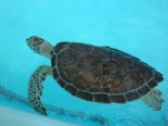 Green sea turtle in hospital pool