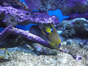 Yellow and blue fish in coral aquarium