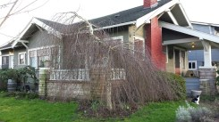 Weeping birch grows wide