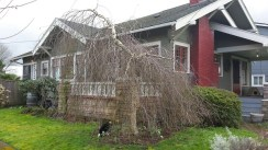 Weeping birch tree in front of Craftsman bungalow