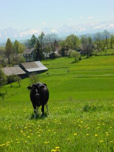 Cow, with Tatra Mountains in the background