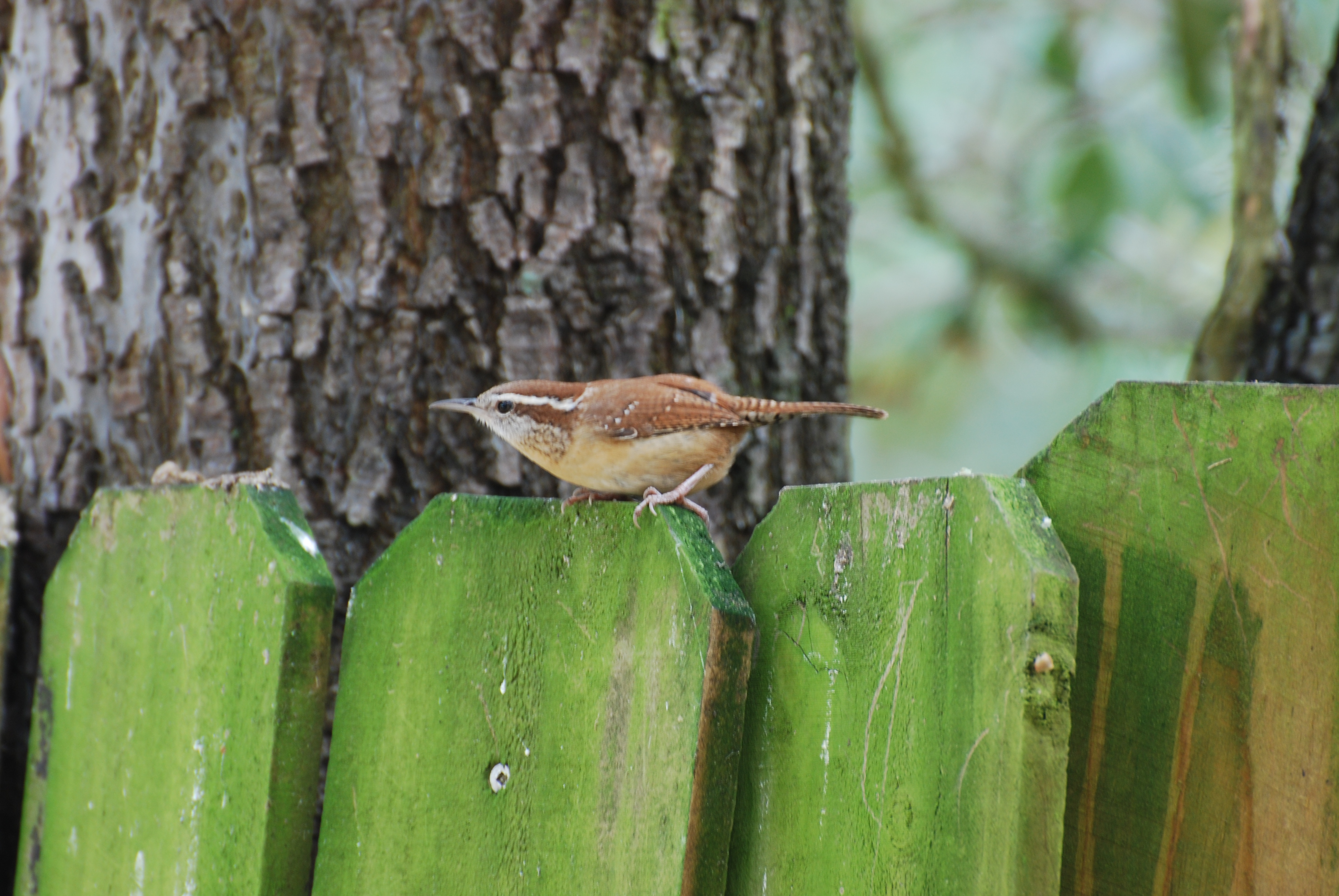 Wrens Provide Example Of Resilient Spirit Of Birds Our