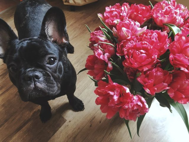 how much do french bulldogs cost? - our frenchie