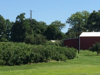 Fresh blueberries and raspberries were ours for the picking.