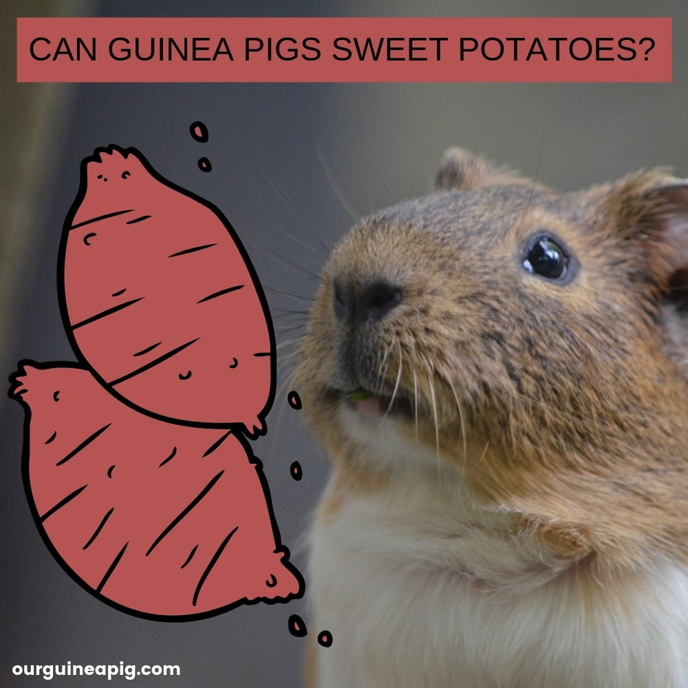 Can Guinea Pigs Eat Sweet Potatoes Our Guinea Pig