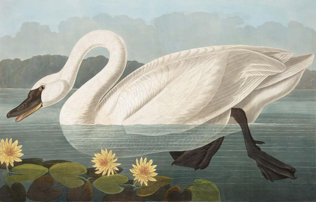 Audubon - Common American Swan