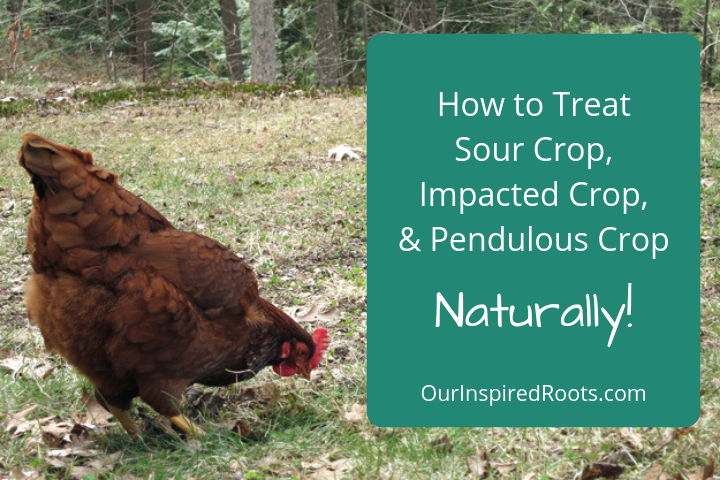 How to Treat Sour Crop in Chickens Easily