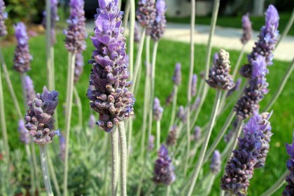 The scent of lavender is calming
