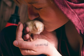 Welcoming new chicks to the farm