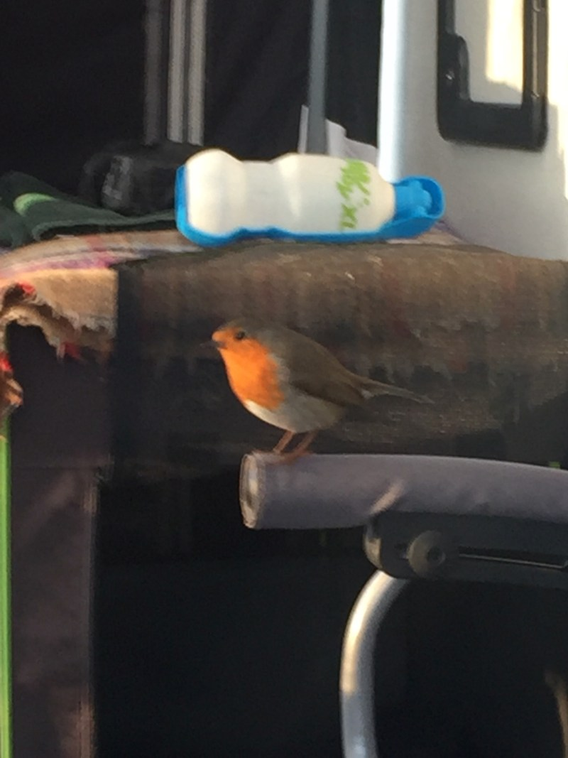 A robin in the awning at old oaks Glastonbury