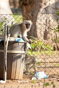 Naughty Vervey monkeys in Letaba staff village