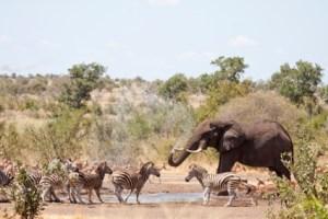 Elephants prays water on impala and zebra, Kruger National Park